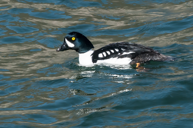 Barrow's Goldeneye at Lake Lenore, Grant County
