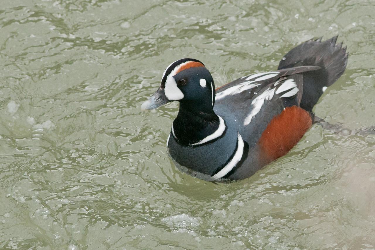 Harlequin Duck, Tieton River