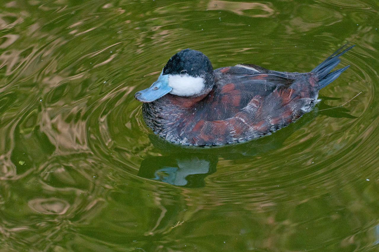 Ruddy Duck. December