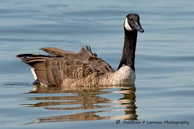 Canada Goose   Jamaica Bay, NY  #753