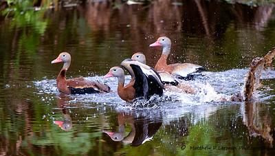Landing Whistling Ducks