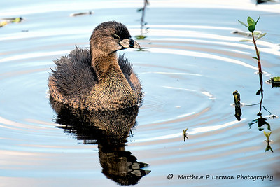 Pied-billed Grebe      #1013