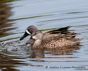 Blue-winged Teal   #6391