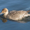 Andrew Haydon Park, female, northern pintail: Anas acuta<br /> Note gray bill and pointed tail