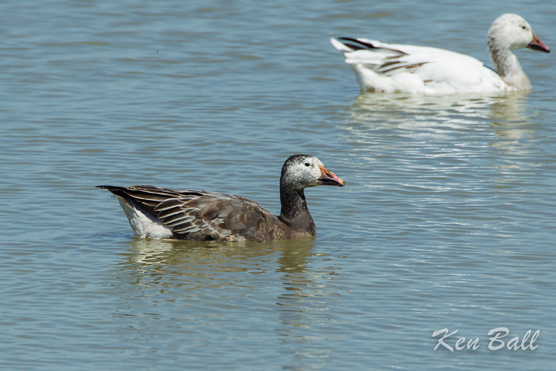 Alfred Lagoons, blue morf, snow goose: Chen caerulescens