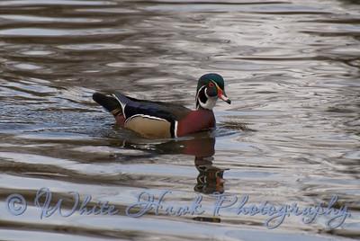 Duck, UW Arboretum