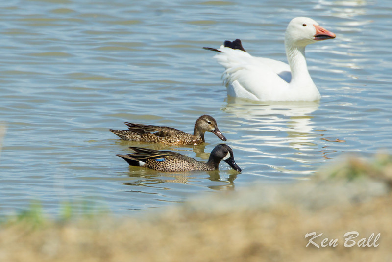Alfred Lagoons, blue-winged teal: Anas discors in the company of a snow goose