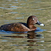 Hardhead or White Eyed Duck (Aythya australis)