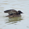 Bronte Harbour, Ontario,  first winter: 1st winter, male, white-winged scoter: Melanitta fusca