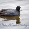 2016-03-12 - American Coot