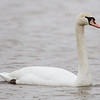 Hillman Marsh Conservation Area (Mersea Rd 2 east bridge), mute swan: Cygnus olor