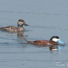 Embrun Lagoons, ruddy duck: Oxyura jamaicensis