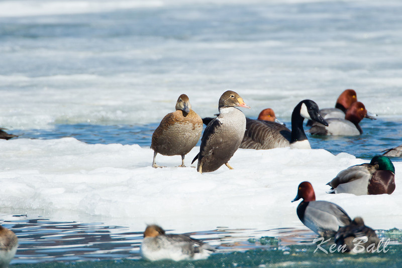 The pair go for an awkward stroll on the ice.<br /> Bronte Harbour, king eider: Somateria spectabilis, male, female, Ontario