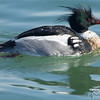 Bronte Harbour, Ontario, red-breasted merganser: Mergus serrator