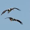 Magpie Geese (Anseranas semipalmata)