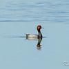 Alfred Lagoons, redhead fuligule: Aythya americana