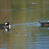 hooded merganser: Lophodytes cucullatus, Mud Lake