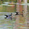 Mud Lake, wood duck: Aix sponsa