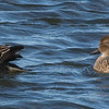 Andrew Haydon Park, female, green-winged teal: Anas crecca