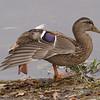 mallard: Anas platyrhynchos, Rideau River