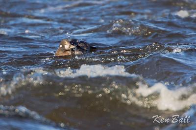harlequin duck: Histrionicus histrionicus, juvenile: immature, male, Bate Island, Ottawa, Ontario