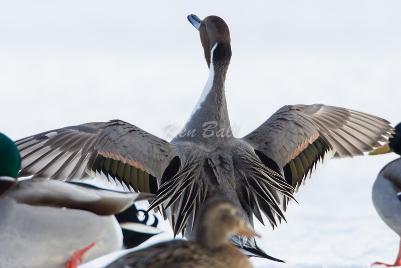 'Standing Out From The Crowd'<br /> Bank Street Bridge, northern pintail: Anas acuta