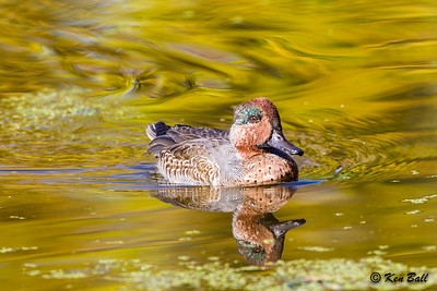 green-winged teal: Anas crecca, Petrie Island