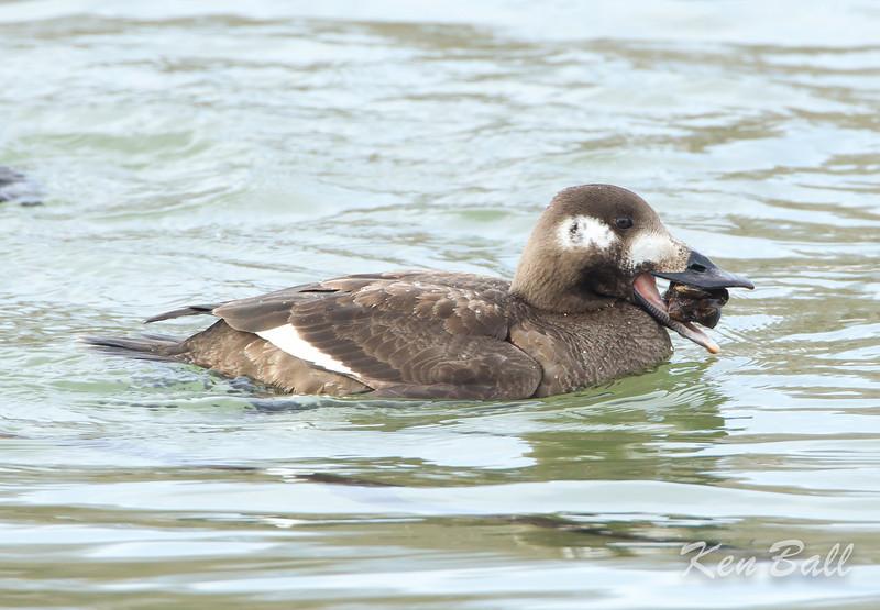 Bronte Harbour, Ontario, white-winged scoter: Melanitta fusca,  first winter: 1st winter, female