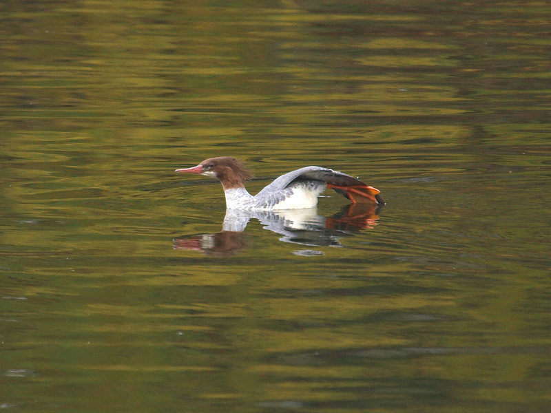 common merganser: Mergus merganser, Rideau River
