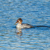 common merganser: Mergus merganser, Dows Lake, fishing