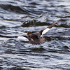 Bate Island, common goldeneye: Bucephala clangula, female