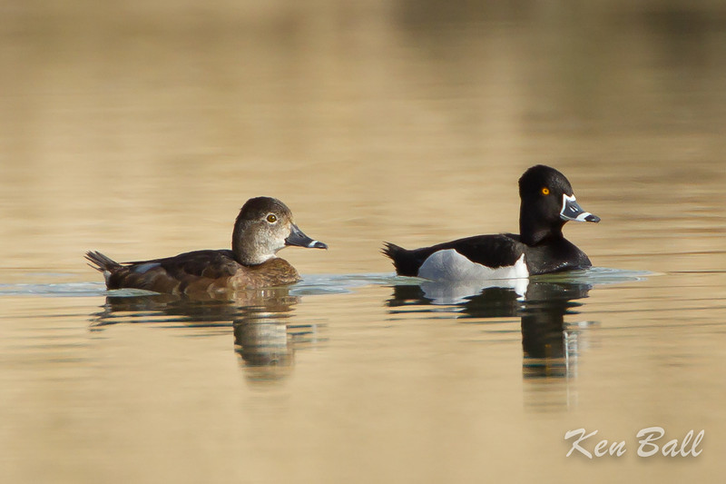 avalon south pond, female, male, ring-necked duck: Aythya collaris