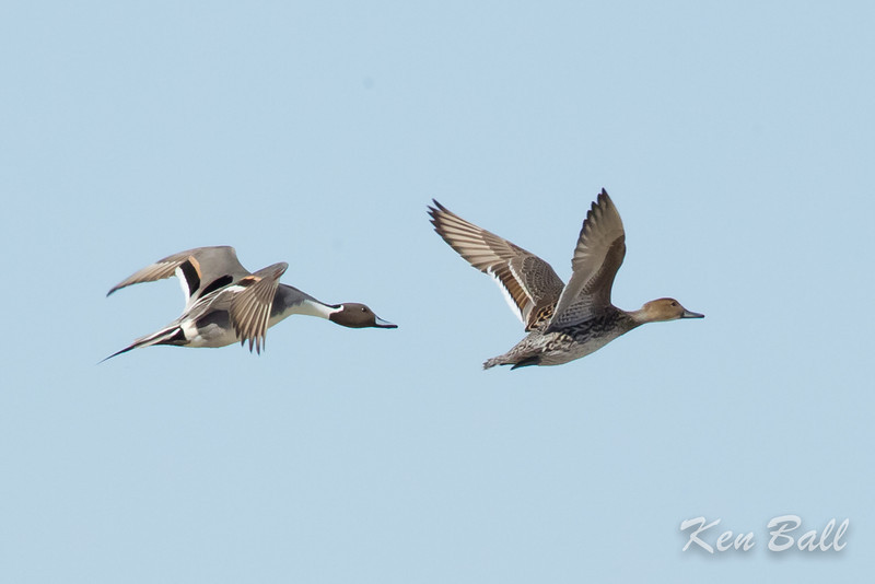 Bourget, northern pintail: Anas acuta