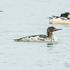 common merganser: Mergus merganser, eclipse plumage, male