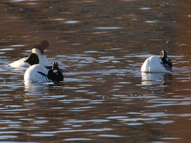 common goldeneye: Bucephala clangula, Rideau River
