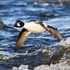 Bate Island, common goldeneye: Bucephala clangula, male