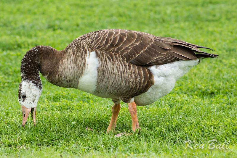 graylag cross goose, Mud Lake