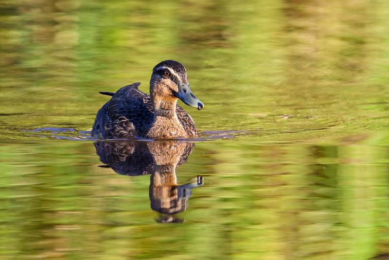 Duck, Schuster Park, Gold Coast.