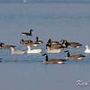 Canada goose: Branta canadensis, snow goose: Chen caerulescens