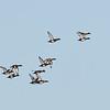Hardhead's or White Eyed Duck's (Aythya australis)