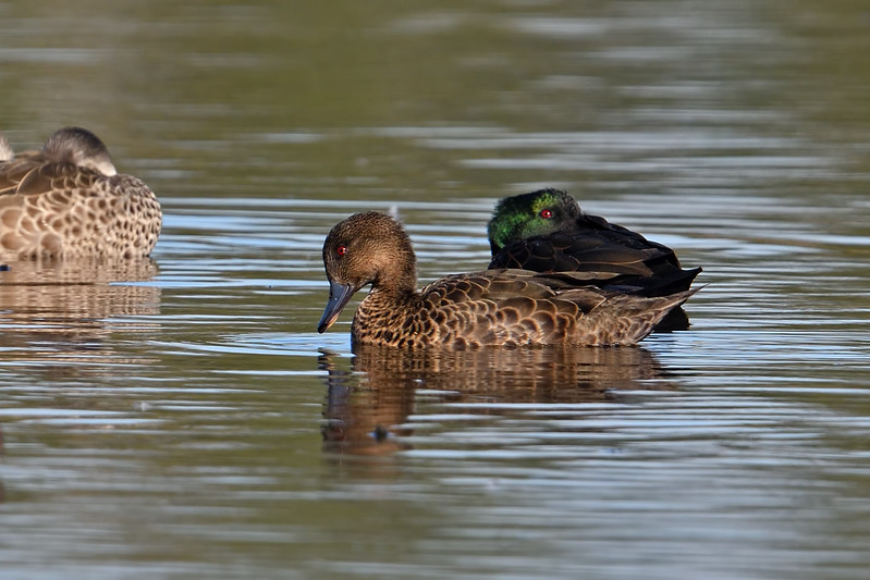 Female Chestnut Teal (Anas castanea)