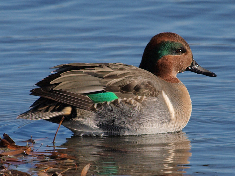 Andrew Haydon Park, green-winged teal: Anas crecca