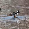 hooded merganser: Lophodytes cucullatus, Rideau River