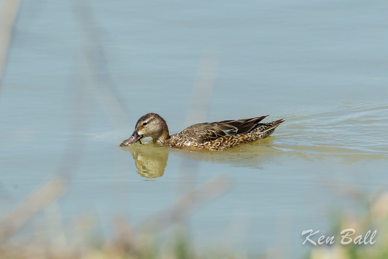 Alfred Lagoons, blue-winged teal: Anas discors, female