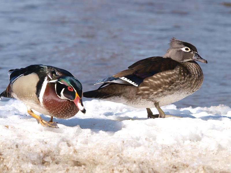 Mud Lake, Wildlife, wood duck: Aix sponsa