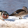 Mud Lake, Wildlife, wood duck: Aix sponsa