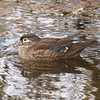 Rideau River, wood duck: Aix sponsa