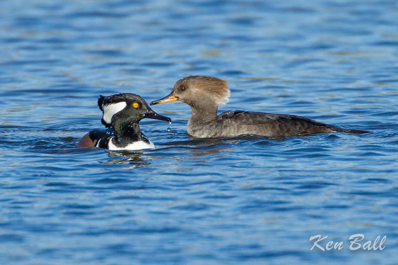Dows Lake, hooded merganser: Lophodytes cucullatus, pair