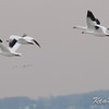 Lancaster, snow goose: Chen caerulescens