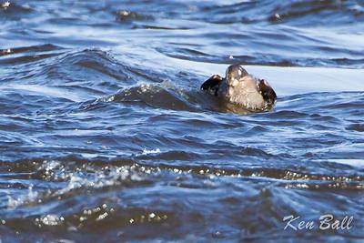 Bate Island, harlequin duck: Histrionicus histrionicus, juvenal plumage, juvenile: immature